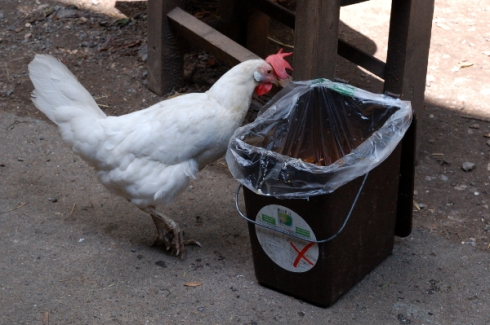 Chicken_compost